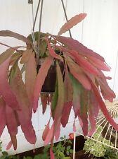 RED RHIPSALIS (Rhipsalis ramulosa) 10 seeds