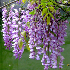 Lilac mini bonsai wisteria tree seeds Indoor ornamental plants – 10 particles