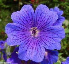 3 x Geranium Magnificum Blue Hardy Perennial Plants (50mm flowers all summer)