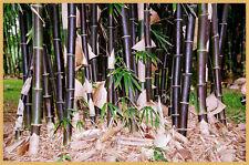 Timor Black bamboo (Bambusa lako) 100 seeds. Posted from Australia.