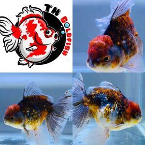 Oranda Gold Fish Premium Grade UK Seller.....!!!!!
