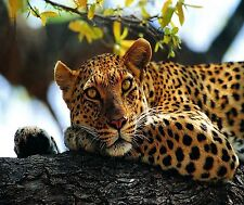 LEOPARD RESTING IN TREE  IMAGE   HOME OR OFFICE DECOR COMPUTER MOUSE PAD 9 X 7