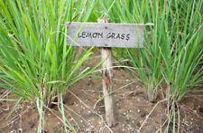 CITRONELLA - LEMON GRASS, 30 SEMI + OMAGGIO