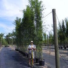Bamboo Graceful 15g Bambusa Textilis Gracilis 15-17' Tall Austin Tx Pickup Huge!