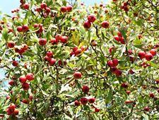 50 WASHINGTON HAWTHORN Mayflower Shrub Tree Edible Fruit & White Flowers Seeds