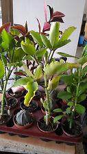 Kalanchoe Pinnata planta en maceta de 8'5 cms plantas suculentas crassas