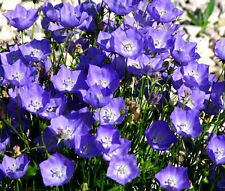 BELLFLOWER TUSSOCK BLUE Campanula Carpatica - 5,000 Bulk Seeds