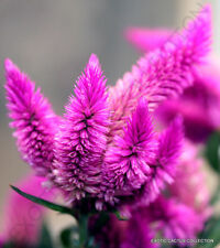 RARE CELOSIA SPICATA Flamingo Feather purple pink fuschia flowers seed 20 seeds