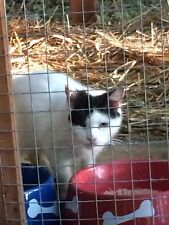 SPONSOR MISS HEART EVICTED RELOCATED FERAL CAT RESCUE PHOTO HELP FEED VET DONATE