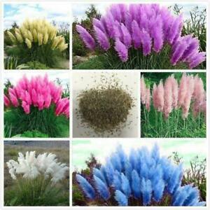 Pampas Gras Samen Pampasgras Rasen Pflanze Ornamental Mode Gartendekoration #B