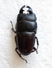 LUCANIDAE: Dorcus alcides - Short Horn MALE, Lampung, Sumatra, Indonesia, A1