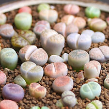 50x Mixed Rare Lithops Seeds Living Stones Succulent Organic Bulk Plant