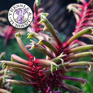 Rare Red & Green Kangaroo Paw Anigozanthus manglesii flower 10 seeds UK