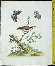 Edwards,Natural History,Brown and White Creeper,handc.Engraving,ca. 1742#26