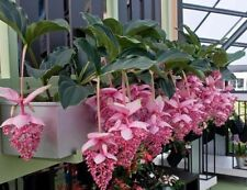 30PCs Medinilla Magnifica Seeds Beautiful Pink Blooms Flower Easy Grow Garden