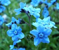 FORGET ME NOT CHINESE BLUE Cynoglossum Amabile - 5,000 Bulk Seeds
