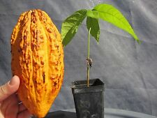 "1 Seeding PLANT 20"" Theobroma Cacao Cocoa Chocolate Tropical Fruit Tree Florida"