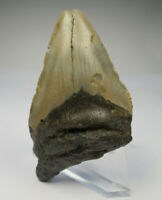 """Megalodon Shark Tooth Fossil, 2.89"""", No Restoration or repair, Giant tooth"""
