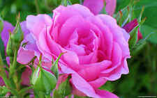 ROSE BUSH PINK OVER 100 FRESH SEEDS FULL GROWING INSTRUCTIONS FREE POST