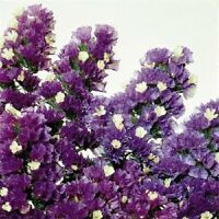 Statice Seeds Fortress Purple 250 Flower Seeds Garden Starts Nursery