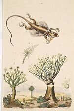 Gravure ancienne v 1840 Histoire Naturelle Dragon reptile et Dragonnier plante