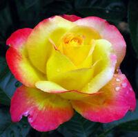 FD4205 Romantic Love And Peace Rose Seeds Pink Yellow Rosa Genus Flower 20PCs