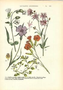 Stampa antica FIORI CENTOCCHIO GAROFANO SILENE botanica 1927 Old Antique print