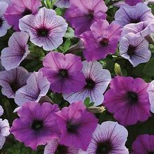 ~  Easy Wave PLUM PUDDING  *  Trailing Petunia *  20 Pelleted Seeds