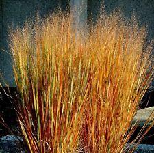 Dacotah Switch Grass- 250 Seeds - 50 % off sale