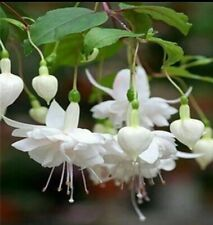 Lantern Hanging,Flowers Seeds, Color; White Seeds. Qty 20 Seeds