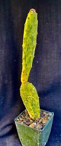 Opuntia cv. Sunburst, cactus plant