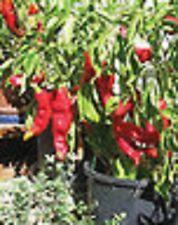 Heirloom Italian CORNO DI TORO ROSSO Red Pepper HUGE (50 Seeds) Red Bull's Horn