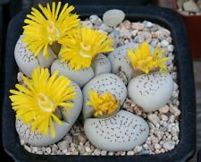 Dinteranthus Vanzylii (10 SEEDS) Rare Succulent Samen Semi Korn Graine 種子 Семена