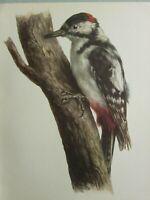 Vintage Estampado Pájaros ~ Gran Carpintero