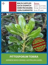 [FRESH SEEDS] Japenese Mock Orange - Pittosporum Tobira - Cheeswood Hedge Plant
