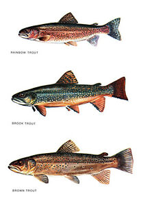 Trout Poster, Fishing, Rainbow Trout, Brown Trout, Brook Trout