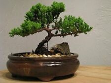 Bonsai live Tree Flowering Juniper Live Plant Great Gift Pot Home Decor New