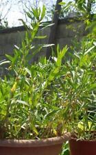 300 Semillas Estragon (Artemisia dracunculus ) seeds