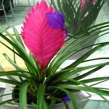 100PСs Seeds Tillandsia Cyanea Bonsai Flowers Decor Home Garden Planting Potted