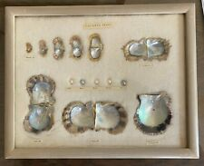 Framed Japanese Cultured Pearl and Oyster Shells Growth Display Japan