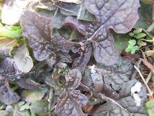 5 Plants Lyreleaf Sage,Salvia Lyrata-Purple Knockout evergreen groundcover