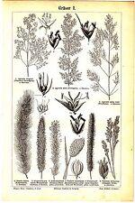 1895 Grasses,Graminoids,Bentgrass,Foxtail,Buffalo Grass,Bermuda Grass Old Print