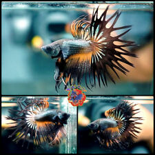 New listing Live Betta Fish Male Fancy Orange Wasp Dragon Crowntail #E1040