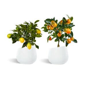 Zitronen- und Orangen Kollektion 30 cm - 2 Bäume / Lisa Meyer + Orangenbaum