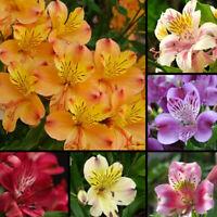 100Pcs Alstroemeria Lily Seeds Mix Colors Flowers Home Plant Garden Decor Trendy