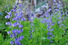 Indigo Bush Baptisia australis Blue False Established Roots 1 Gallon Trade Pot