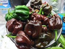 Chocolate Scotch Bonnet HOT pepper 40+ fresh organic seeds for 2017.