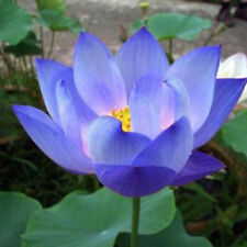 10+ Flower Seeds Blue Lotus Seeds Aquatic Plants Water Lily Plants!Rare Lotus