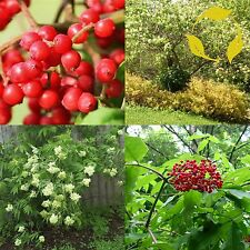 RED ELDERBERRY Sambucus Pubens - 30+ SEEDS