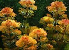 1 Bund Cabomba furcata Rotes Haarnixe #Aquariumpflanzen #Wasserpflanze TOP FARBE